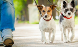 two small dogs being walked on leash