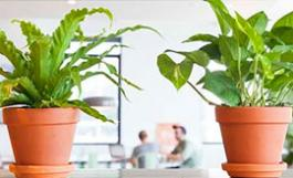 a pair of green houseplants in an office setting