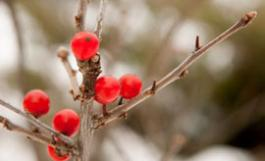 red berries on a branch in snow