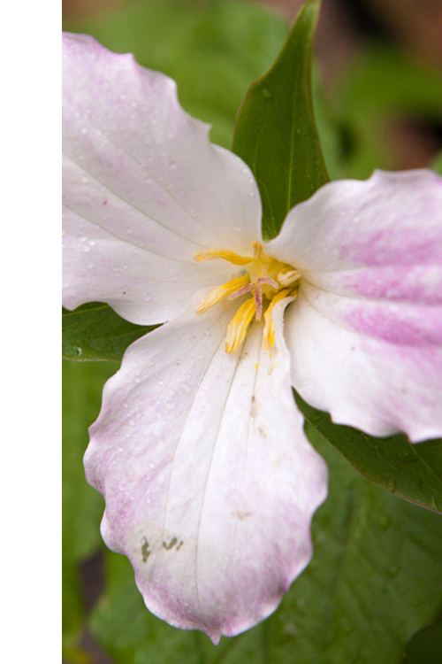 closeup of trillium flower