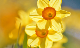 photo of bright daffodils closeup
